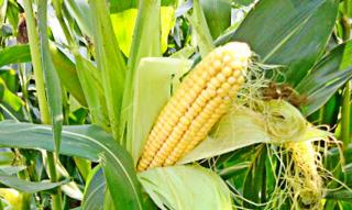 Рынок кукурузы: валютные и другие неожиданности