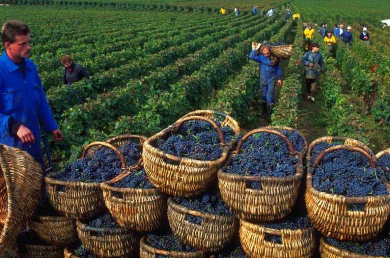 Проблемы современного украинского виноградарства